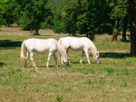 stallions: Two white Lipizzaner stallions grazing on a meadow in sunny day, Lipica, Slovenia Stock Photo