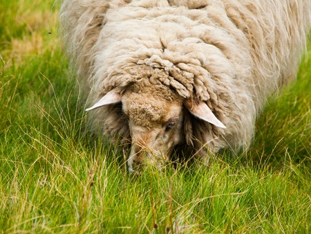 detailed view: Detailed view of head of sheep grazing on a green pasture Stock Photo