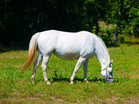 White Lipizzaner stallion grazing on a meadow in sunny day, Lipica, Slovenia