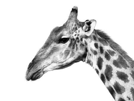 jirafa fondo blanco: Retrato de la jirafa perfil aislado en fondo blanco