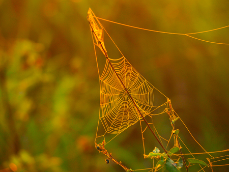 rising sun: Triagle spider web on a meadow illuminated by rising sun