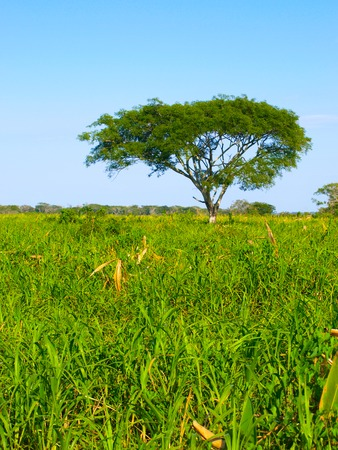 lonesome: Lush green grass and lonesome tree in amazonian pampas, Bolivia