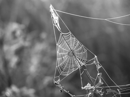 rising sun: Triagle spider web on a meadow illuminated by rising sun, black and white image Stock Photo