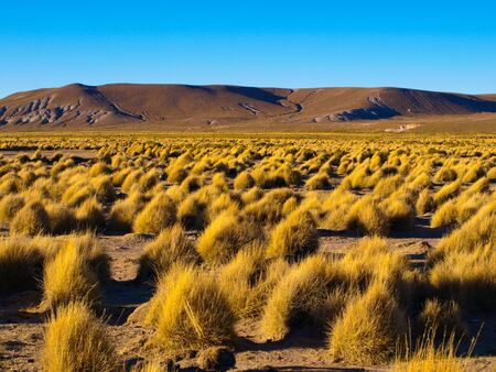 lipez: Typical grass clumps in Cordillera de Lipez in southern bolivian Altiplano