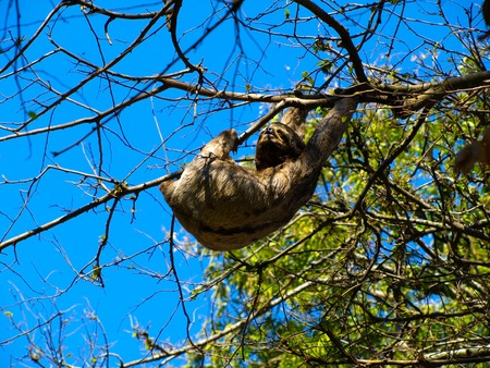 brown throated: Sloth hanging from a branch in sunny day, Santa Cruz de la Sierra, Bolivia Stock Photo