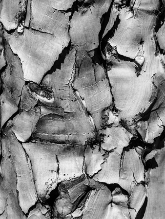 papery: Detailed view of quiver tree bark with typical cracked structure. Black and white image.
