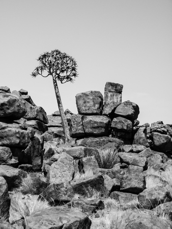 giants: Quiver tree and rock formations of Giants Playground in Namibia. Black and white image.