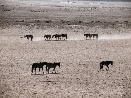 equid: Wild Horses of the Namib desert at waterhole near Aus, Namibia.