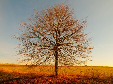 lonesome: Lonesome autumn tree without leaves in the evening time