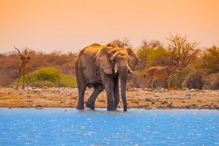 waterhole: Huge african elephant standing at waterhole, Etosha National Park, Namibia