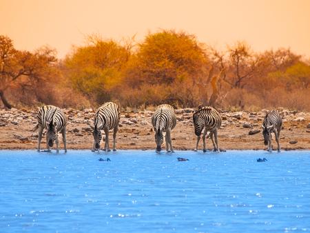 pozo de agua: Cinco cebras de agua potable en el pozo de agua, Parque Nacional de Etosha, Namibia Foto de archivo