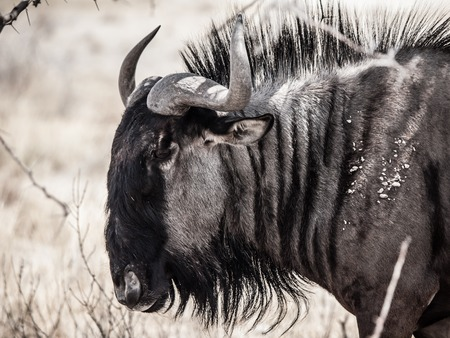 desaturated colors: Detailed view of wildebeest gnu from profile, Etosha National Park, Namibia