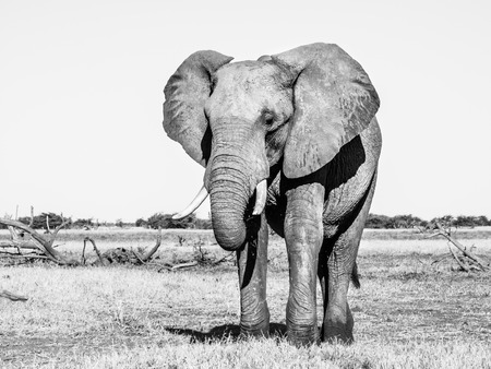chobe national park: Lonesome big african elephant standing in savanna, Chobe National Park, Botswana. Black and white image. Stock Photo