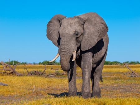 lonesome: Lonesome big african elephant standing in savanna, Chobe National Park, Botswana