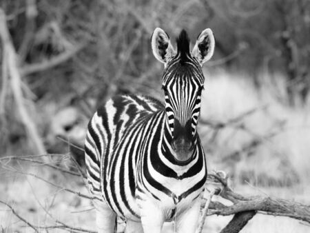 burchell: Detailed view of young zebra looking to photographer, Etosha National Park, Namibia. Black and white image.
