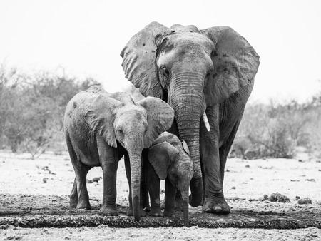pozo de agua: familia del elefante africano potable del pozo de agua en el Parque Nacional de Etosha, Namibia. Imagen blanco y negro. Foto de archivo