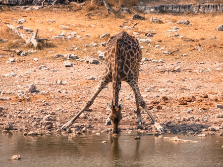 legs spread: Thirsty giraffe drinking from waterhole in typical pose with wide spread legs, Etosha National Park, Namibia