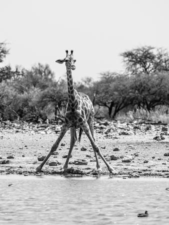 beine spreizen: Durstige Giraffe trinken aus Wasserloch in typischer Pose mit weit gespreizten Beinen, Etosha National Park, Namibia. Schwarzweiss-Bild.