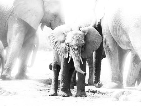 Jonge Afrikaanse olifant in het midden van familiekudde, het Nationale Park van Etosha, Namibië. Zwart en wit beeld.