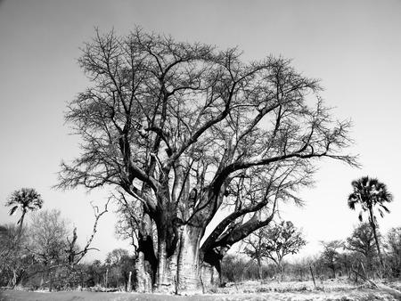 Big baobab tree near Victoria Falls in Zimbabwe. Black and white image.