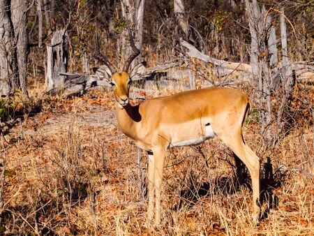 okavango delta: Young impala in Moremi Game Reserve, Okavango Delta, Botswana Stock Photo