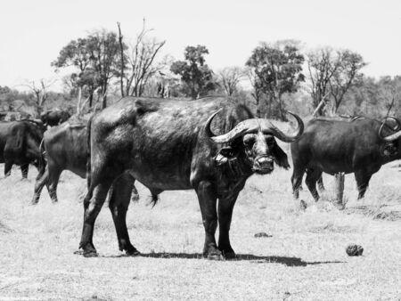 okavango delta: African cape buffalo standing in the middle of herd, Okavango Delta, Botswana. Black and white image. Stock Photo