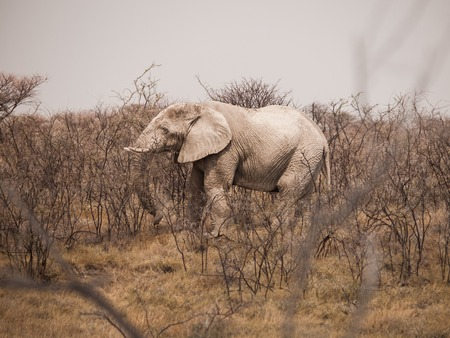 power giant: African Elephant bull, Loxodonta africana, hidden in the dry bush, Etosha National Park, Namibia Stock Photo