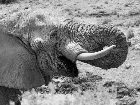 big ear: Detailed view of african elephant drinking water. Stock Photo