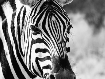 burchell: Detailed view of head of zebra, Etosha National Park, Namibia. Black and white image.