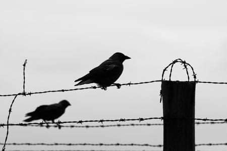 wojenne: Sylwetki dwóch wron siedzących na płocie z drutu haczyka. Czarno-biały obraz.