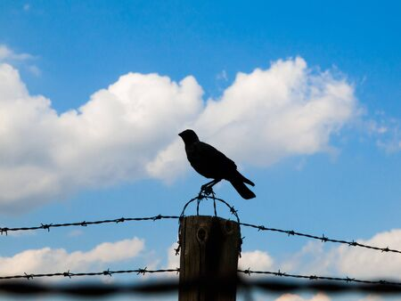 wire fence: Silhouette of crow sitting on the barb wire fence. Blue sky and white clouds on background. Stock Photo