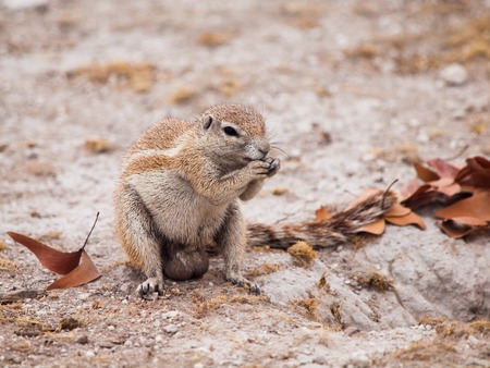 cape ground squirrel: South African ground squirrel, Xerus inauris, sitting and eating, Etosha National Park, Namibia
