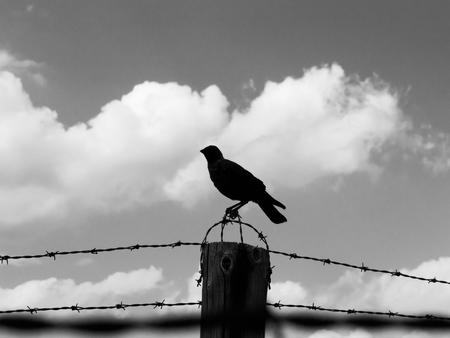 wire fence: Silhouette of crow sitting on the barb wire fence. Black and white image.