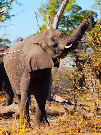 African elephant eating branches from trees in savanna, Chobe National Park, Botswana Stock Photo
