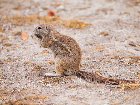 sitting on the ground: South African ground squirrel, Xerus inauris, sitting and eating, Etosha National Park, Namibia