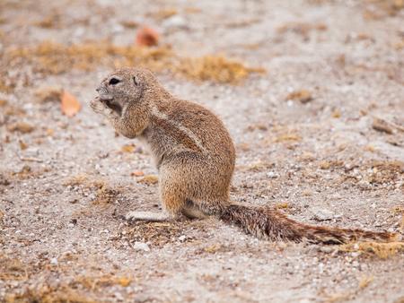 xerus inauris: South African ground squirrel, Xerus inauris, sitting and eating, Etosha National Park, Namibia