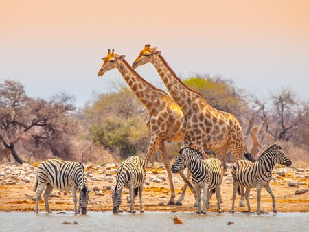 Two giraffes and four zebras at waterhole in Etosha National Park, Namibia 免版税图像
