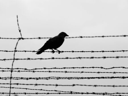 Silhouette of crow sitting on the barb wire fence. Black and white image.