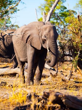 chobe national park: African elephant eating branches from trees in savanna, Chobe National Park, Botswana Stock Photo