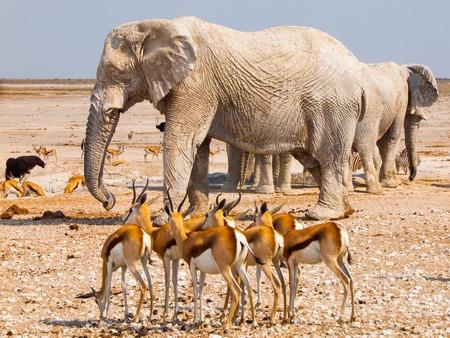 thirsty bird: Many elephants and impalas at crowded waterhole Nebrownii, Etosha National Park, Namibia Stock Photo
