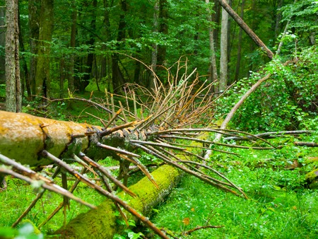 primeval: Broken tree roots and fresh green deciduous forest, Bialowieza primeval forest, Poland and Belarus Stock Photo