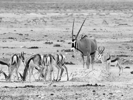 waterhole: Gemsbok Oryx y manada de impalas en el pozo de agua en el Parque Nacional de Etosha, Namibia. Imagen blanco y negro.