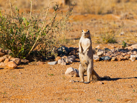 xerus inauris: Cape ground squirrel standing in dry landscape of Namibia Stock Photo