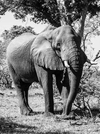 chobe national park: Large african elephant standing under the tree in savannah, Chobe National Park., Botswana
