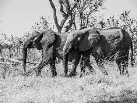 chobe national park: Two african elephants walk in savannah, Chobe National Park, Botswana. Black and white image.