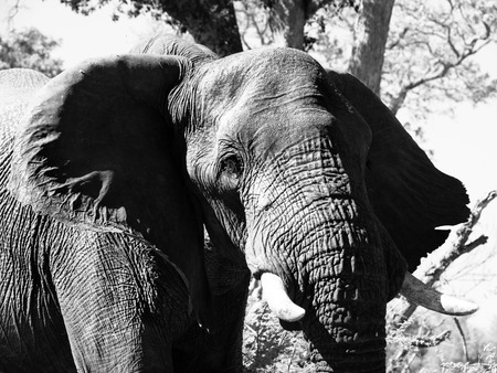 chobe: Portrait of large african elephant standing under the tree in savannah, Chobe National Park., Botswana