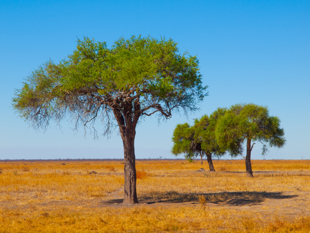 Three green acacia trees in open savanna plains with dry grass and clear blue sky.