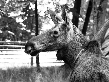 primeval forest: Eurasian elk profile, Alces alces, Bialowieza Primeval Forest, Poland. Black and white image.