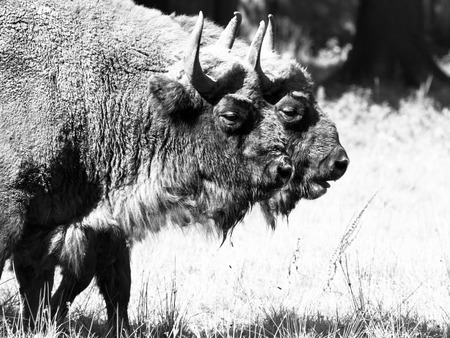 primeval: Two european wood bisons, or wisents, in Bialowieza primeval forest. Black and white image.