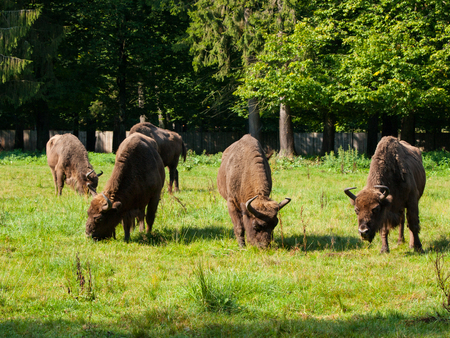 primeval forest: European bison herd in Bialowieza primeval forest, Poland and Belarus